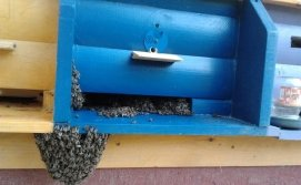 Ройовий стан бджіл