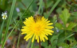Збір нектару бджолами