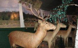 Олень в музее Фауны