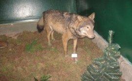 Волк в музее Фауны
