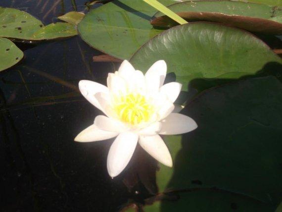 Лилия на озере Перемут
